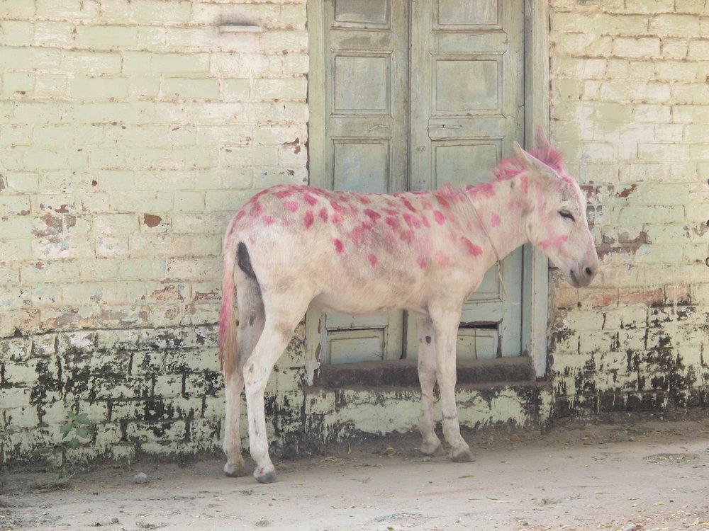 Graham_Hollick_Donkey_Diwali.JPG