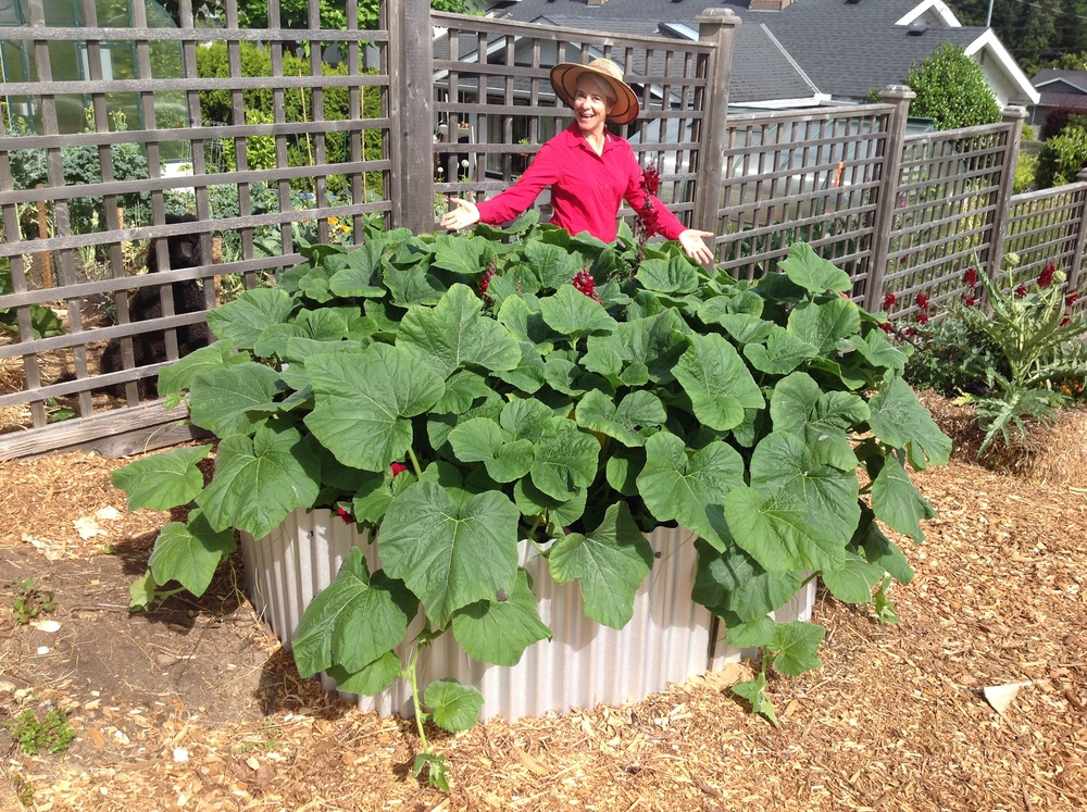 I raised over 700 lbs squash in my various pop-up gardens last year. Do you have an empty alley or boulevard just itching to grow food? What are you waiting for?