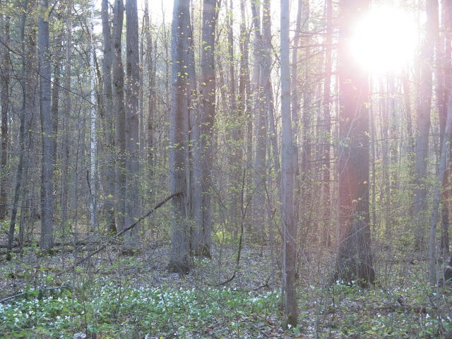 Trilliums in Woods at Sunset