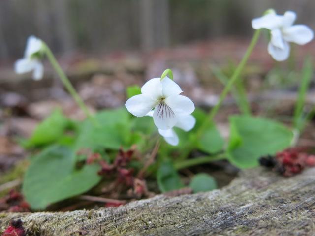 Woodland Violet White