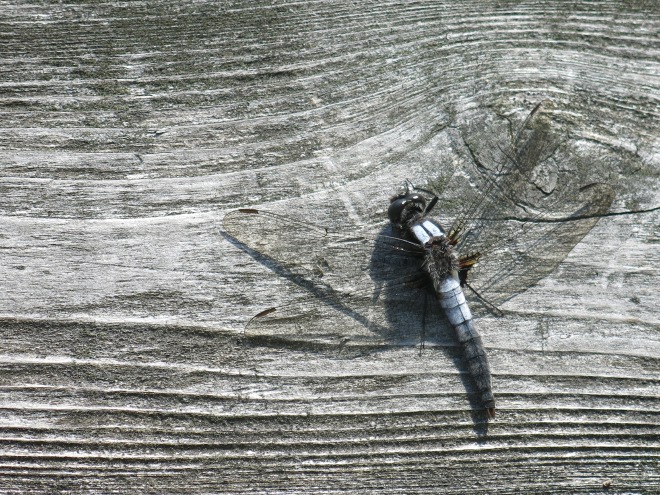 Dragonfly On Dock