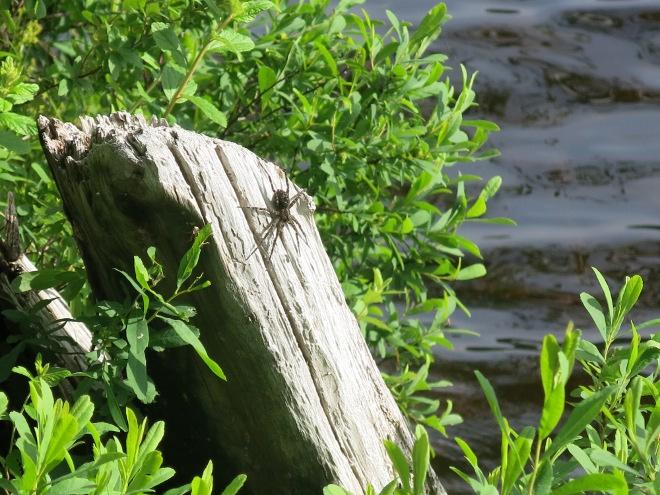 Dock Spider