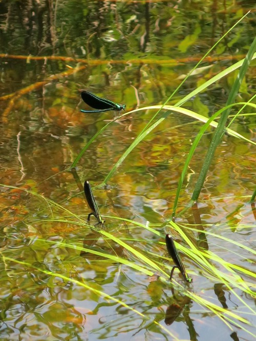 Damselflies Sunbathing