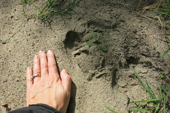 Moose track with my hand, for scale. It may not have been fresh, but I wasn't in the mood to find out!