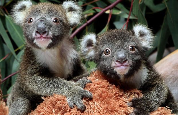 koala twins photo.jpg