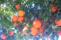 oranges no date.jpg