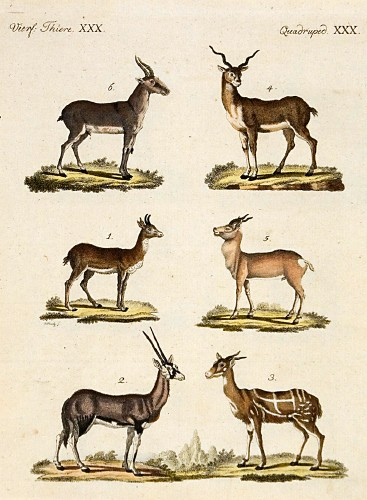 antelopes_and_gazelles_-_bertuch-jpg