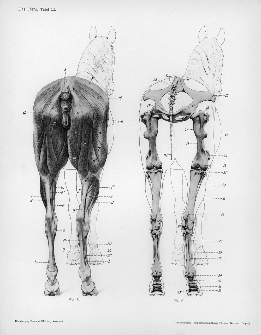 horse_anatomy_posterior_view-jpg