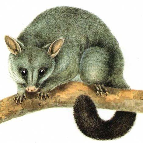 possum-jpg