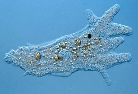 amoebaproteus450-jpeg