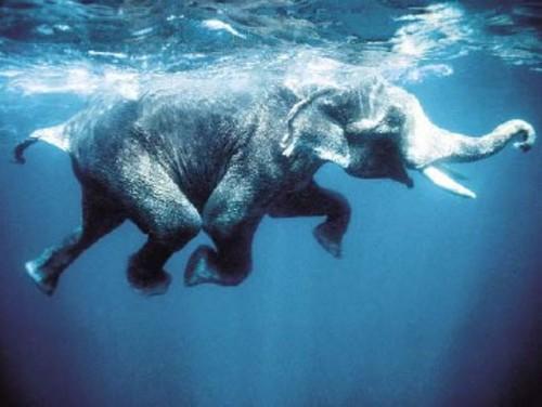 elephant_swim-jpg
