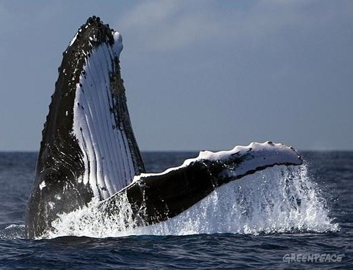 humpback-whale-off-the-coast-o-jpg