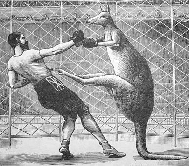 kangaroo-boxing-png