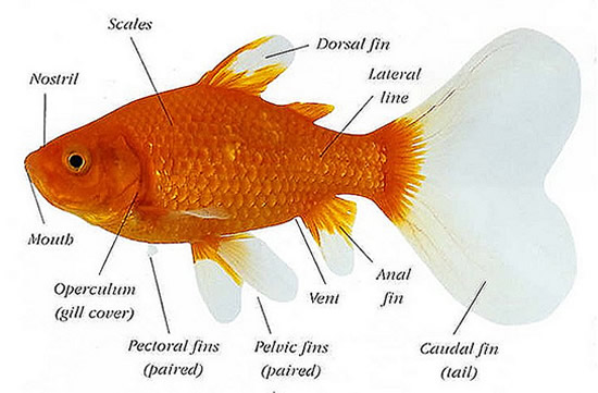 ppic_anatomy_of_a_pond_fish-jpg