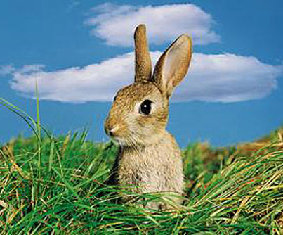 rabbit-jpg