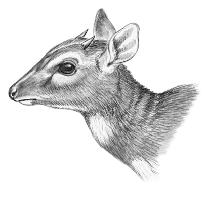royal_antelope-jpg