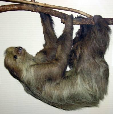 _sloth-jpg
