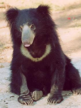 sloth_bear_03-jpg