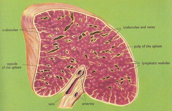 spleen_cross-section-jpg