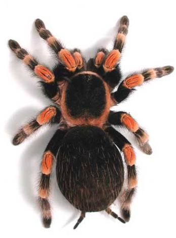tarantula-red-knee-mexican-jpg
