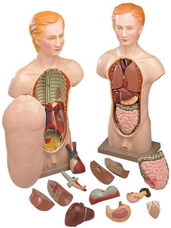 sh205-male_torso-anatomy_model.jpg
