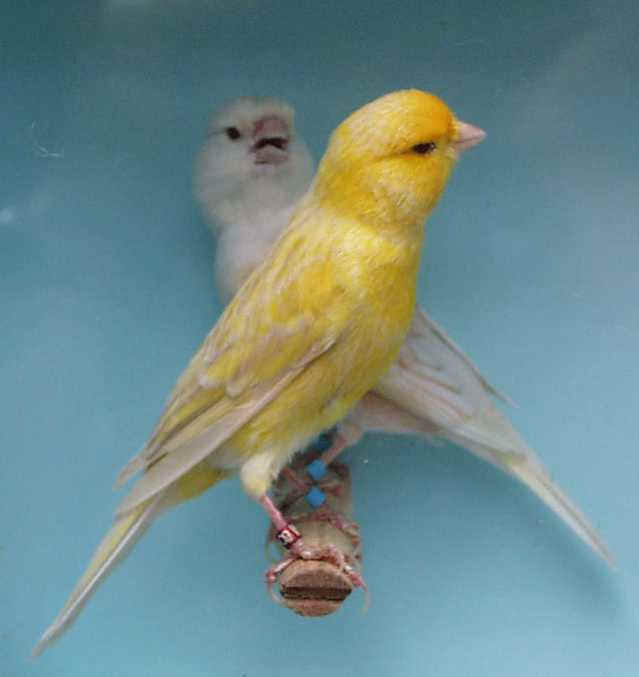 Canary-Fife-Fancy.jpg