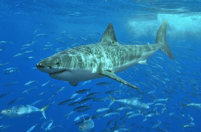 10-great-white-shark-670x440-shark-attack-prevention-strategies-that-spare-sharks-140205.jpg