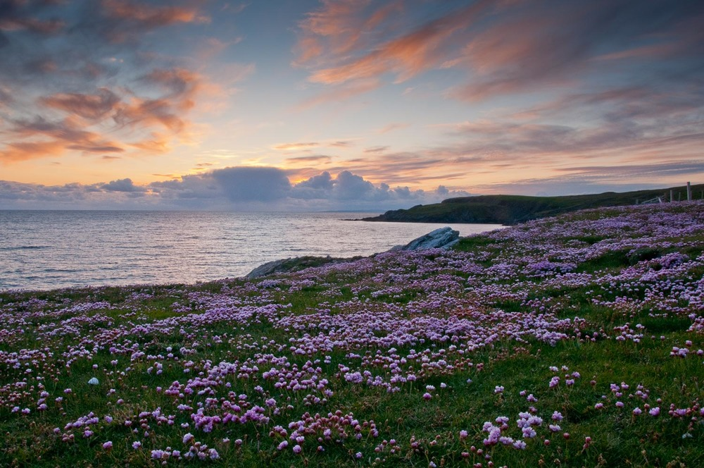 Sea Pinks at Ireland, Bigton.