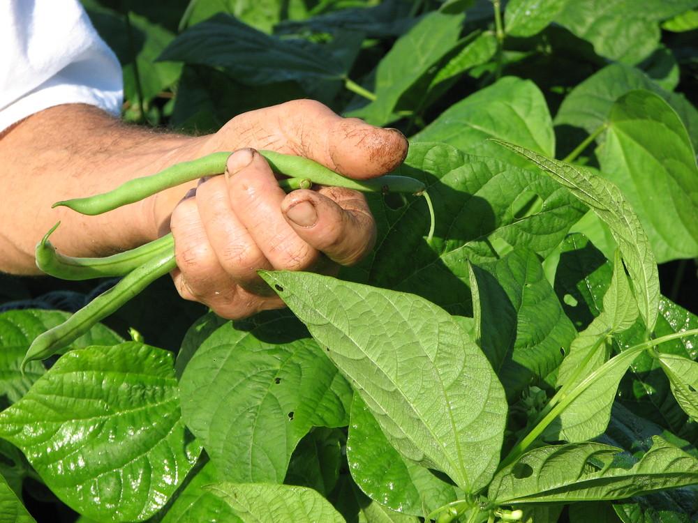 Steven picking beans