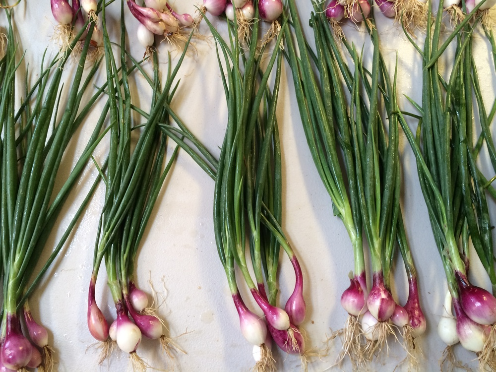 Beautiful Purplette bunching onions. So pretty & so tasty!