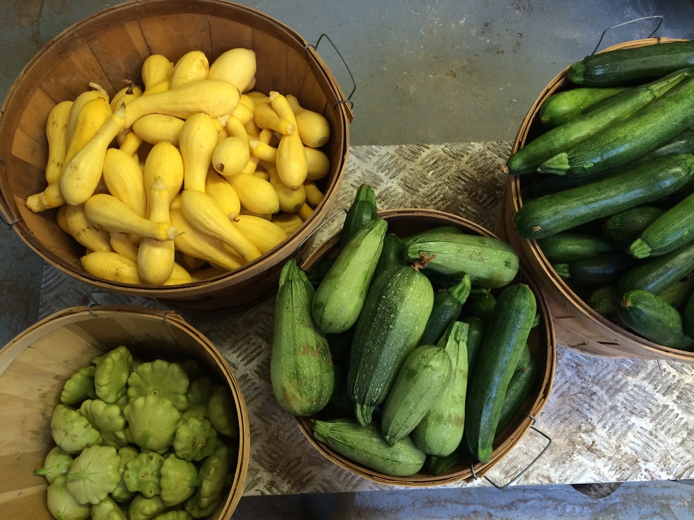 Fresh summer squash & zucchini, right out of the earth.