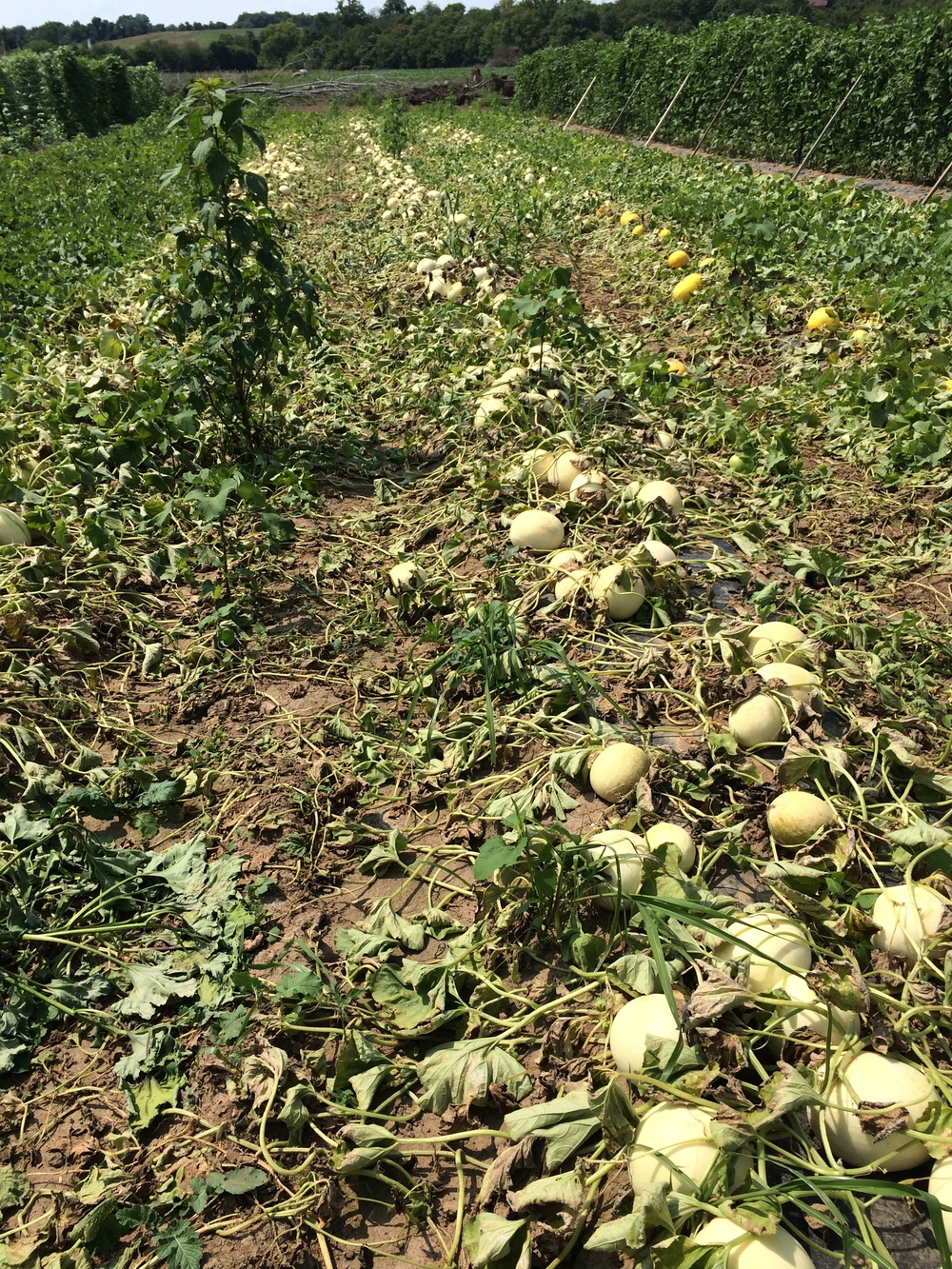 It's like a melon graveyard… so depressing