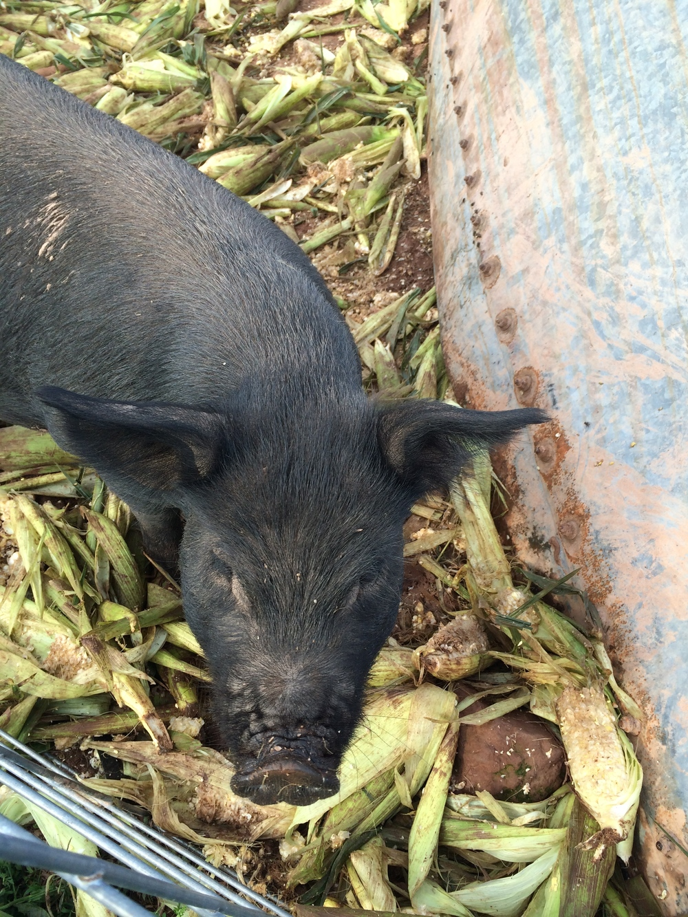 One of our sweet sows, enjoying some corn