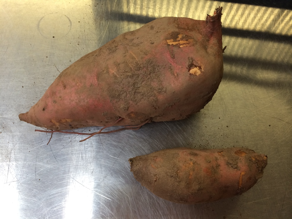 It's tough to tell, but let me give you some perspective — the sweet potato on the bottom is a healthy size potato, about 6 inches long, so you can only imagine how big the big guy is!