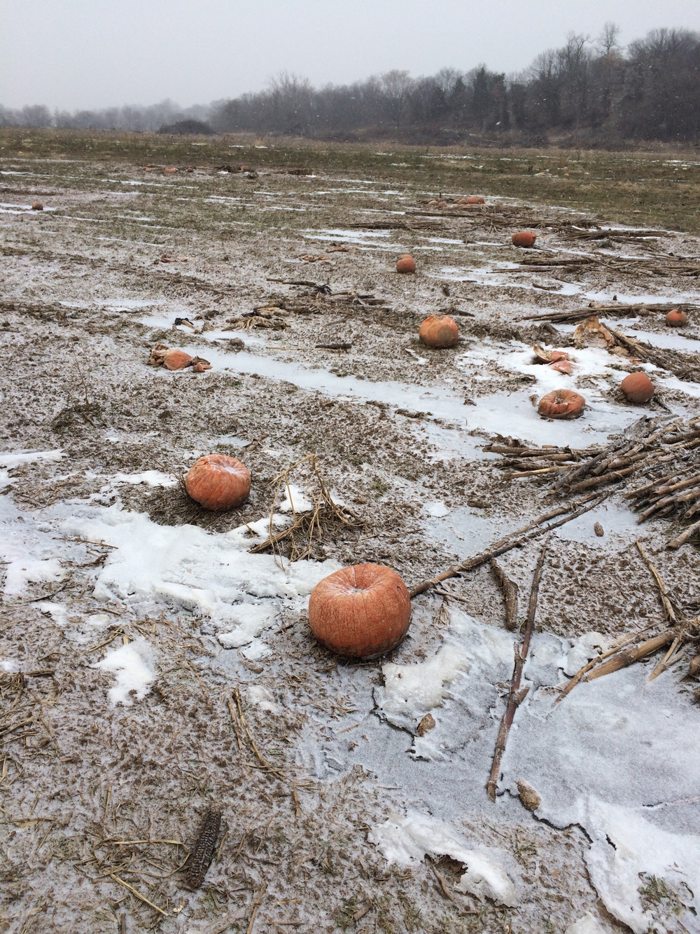 A few rotten pumpkins, fertilizing the fields for next year