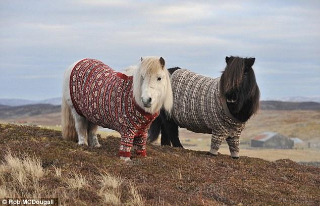 Shetland Ponies in Shetland Jumpers