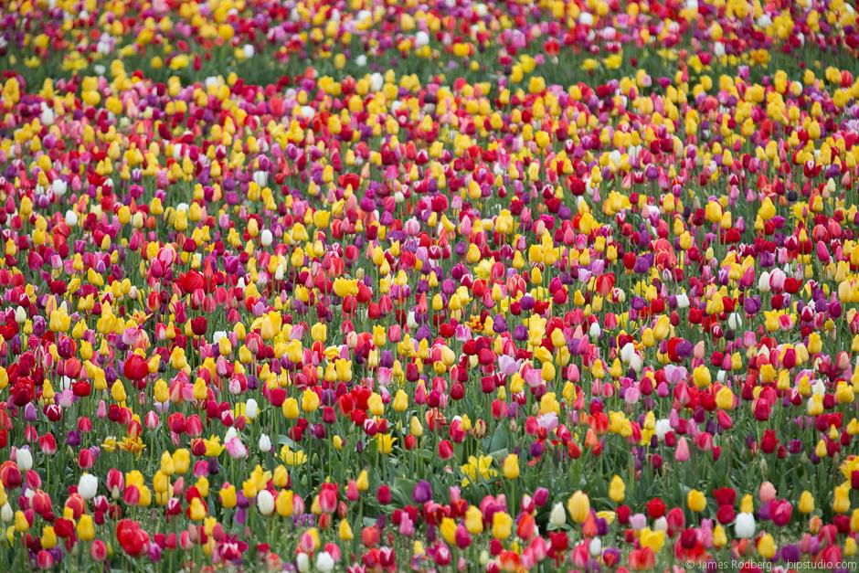 Tulip-Festival_0322.jpg