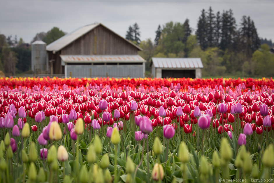 Tulip-Festival_0345.jpg