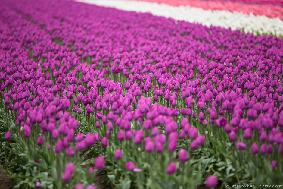 Tulip-Festival_0397.jpg