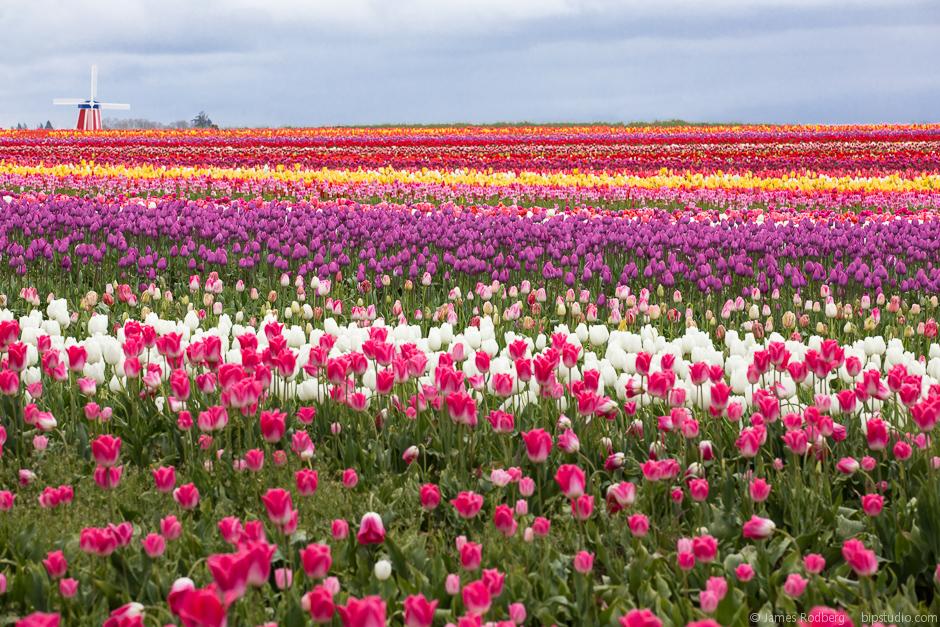Tulip-Festival_0413-E.jpg