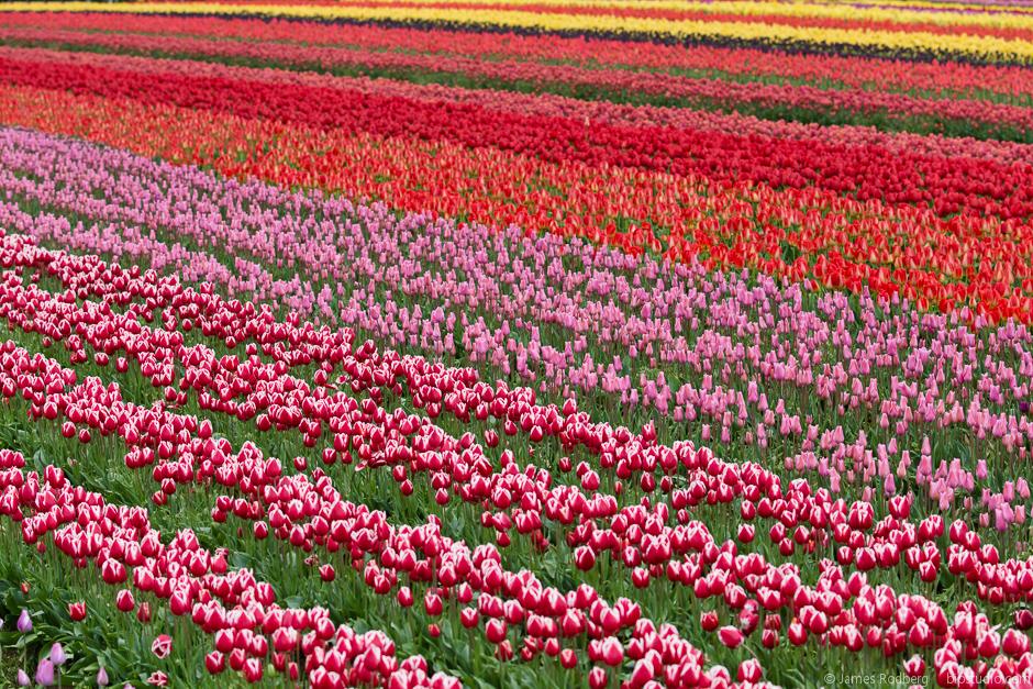 Tulip-Festival_0347-E.jpg