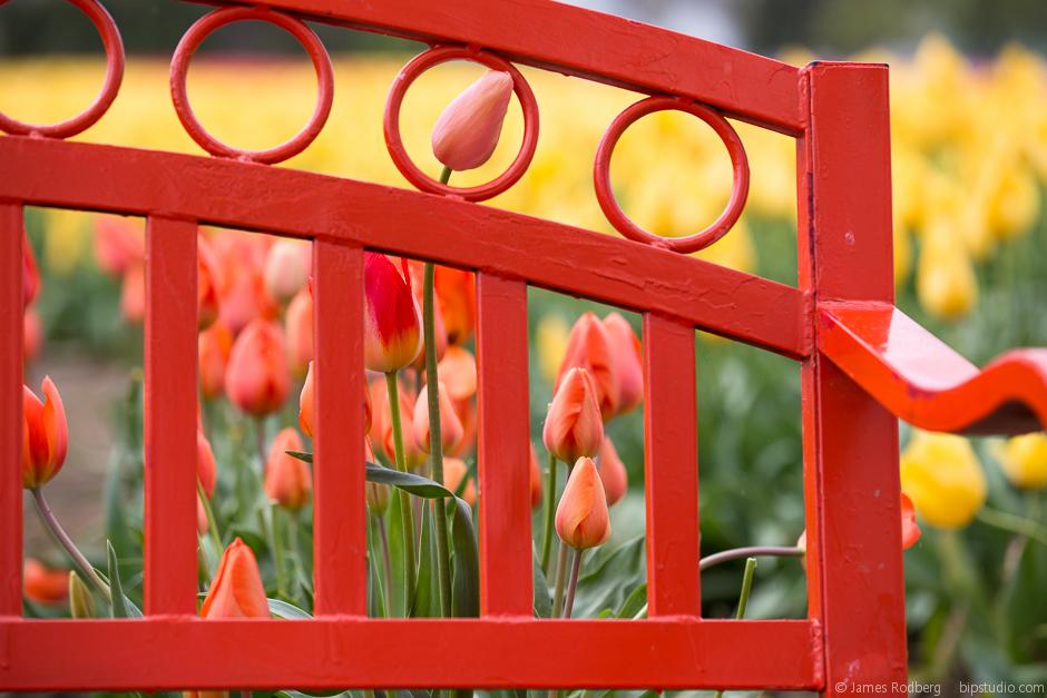 Tulip-Festival_0430.jpg