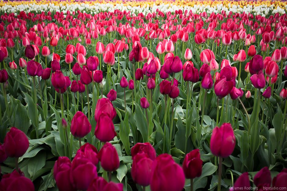 Tulip-Festival_0297.jpg