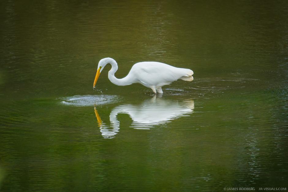 White-Heron_2825-O.jpg