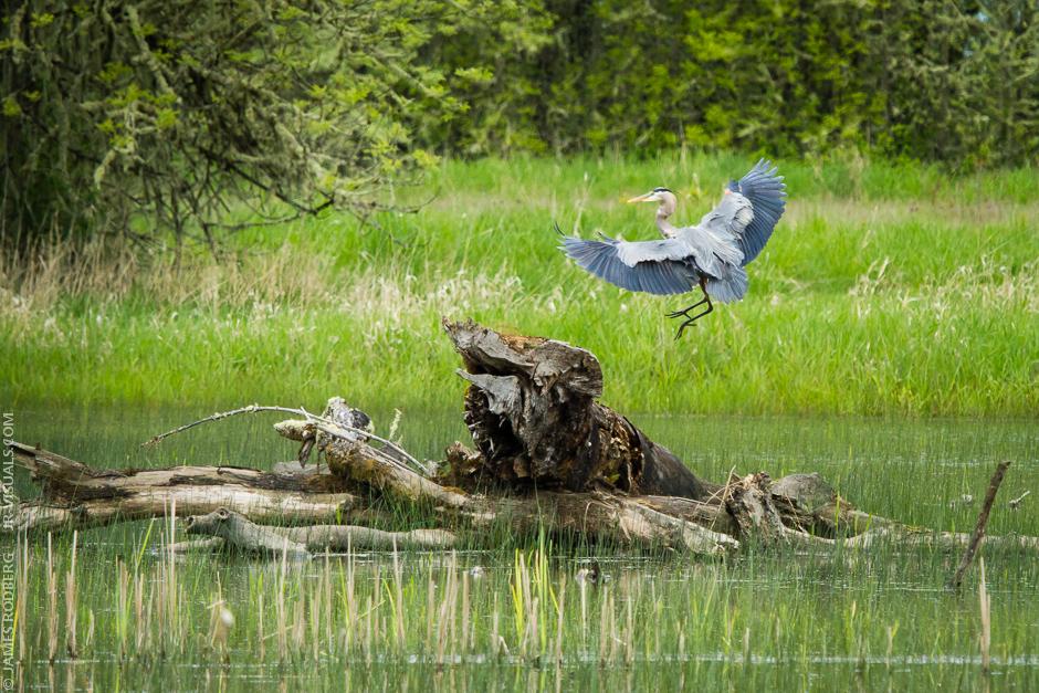 Blue-Heron_0978.jpg