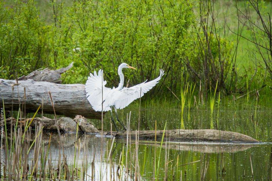 White-Heron_1025.jpg