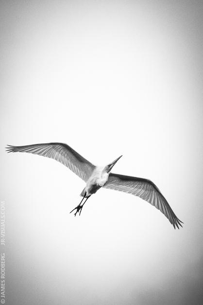 White-Heron_1006.jpg