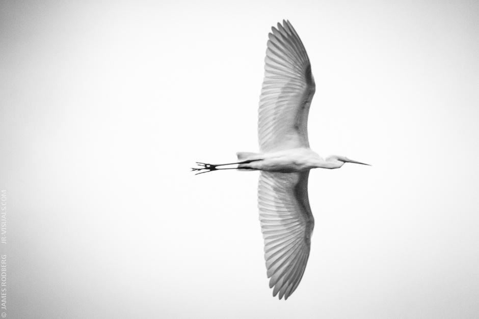 White-Heron_1007.jpg