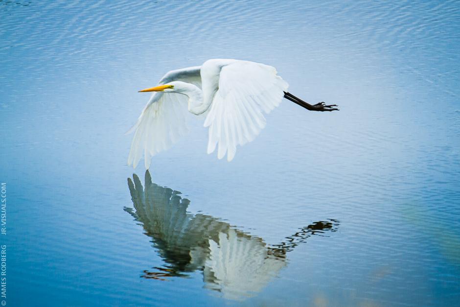 White-Heron_2837-E.jpg