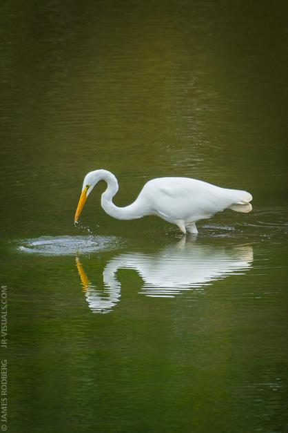 White-Heron_2825.jpg